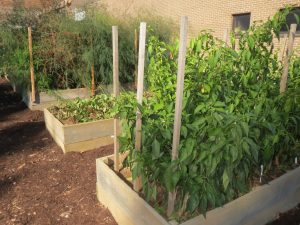 Despite the frost, the Patton Project's raised beds are still flourishing - and producing.