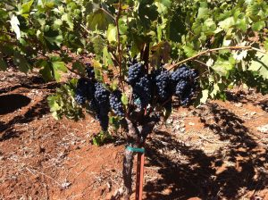 Grapes that will be used for [Ee'z] thrive  at the Beatty Vineyard on Howell Mountain in California.