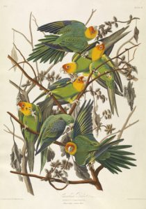 Carolina Parrot, from The Birds of America, c. 1828, by John James Audubon (Virginia Museum of Fine Arts, Richmond: Gift of Alma and Harry Coon) © Virginia Museum of Fine Arts; photo: Travis Fullerton.