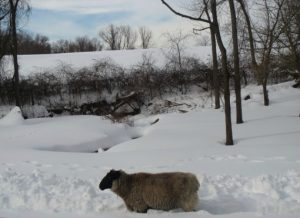 Last month, this sheep needed its wooly coat; by next month, it will be happy to lose it.