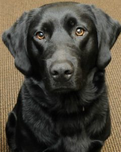 Melody, a stress-busting dog, is the latest addition to the Chester County Sheriff's K-9 Unit.