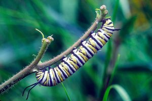 The monarch in its caterpillar stage.