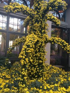 Longwood gardeners specialize in training mums into a variety of shapes and sizes.