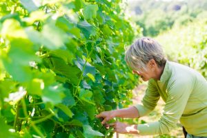 Vineyard at Galer Estate Winery