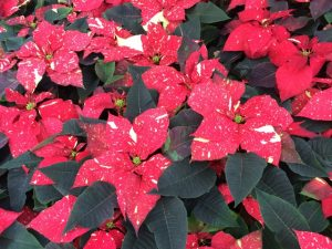 Poinsettias always have a starring role in 'A Longwood Christmas.'